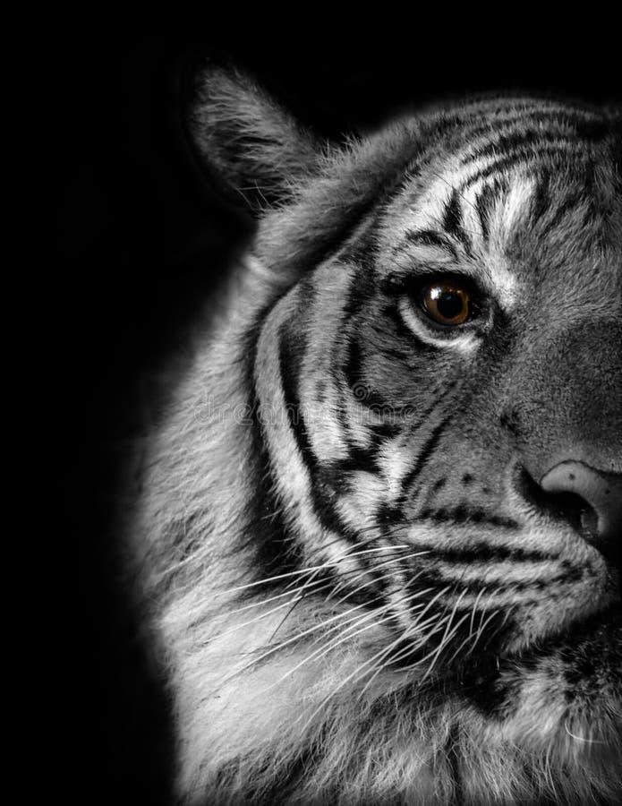 Auge des Tigers stockfotos