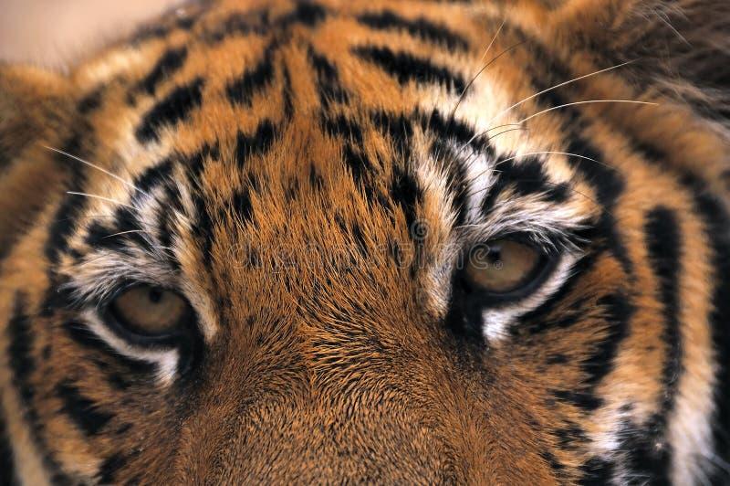 Auge des Tigers lizenzfreie stockfotos