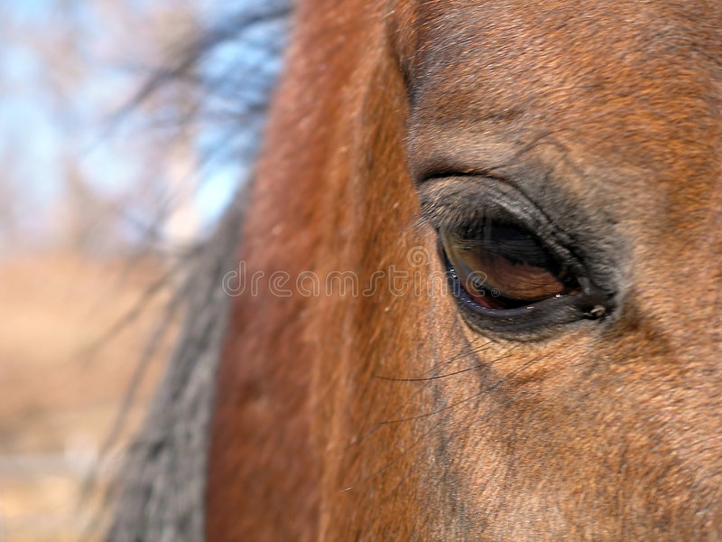 Auge eines arabischen Stallion stockfoto