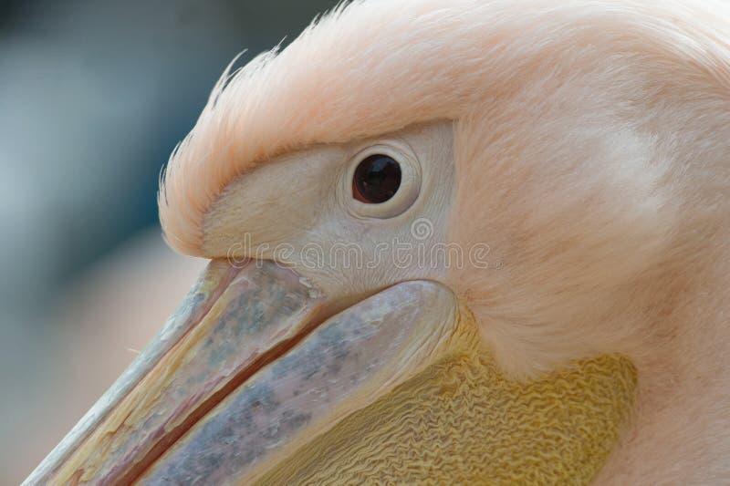 Auge nah oben vom weißen gemeinen Pelikan stockfotografie