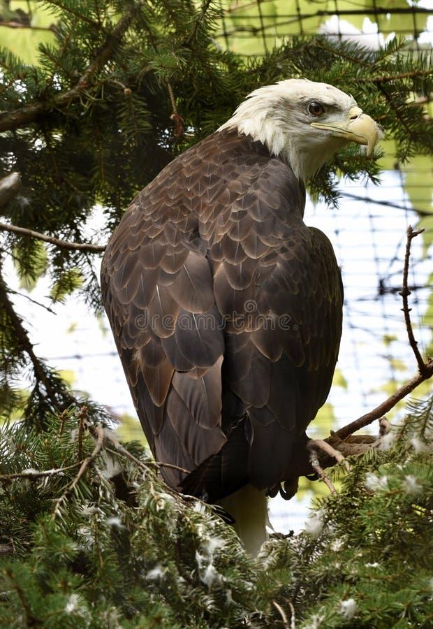 Auge von Eagle lizenzfreie stockfotografie