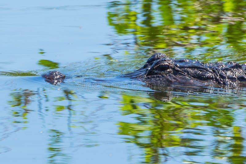 Auge, zum mit dem Alligator zu mustern lizenzfreies stockbild