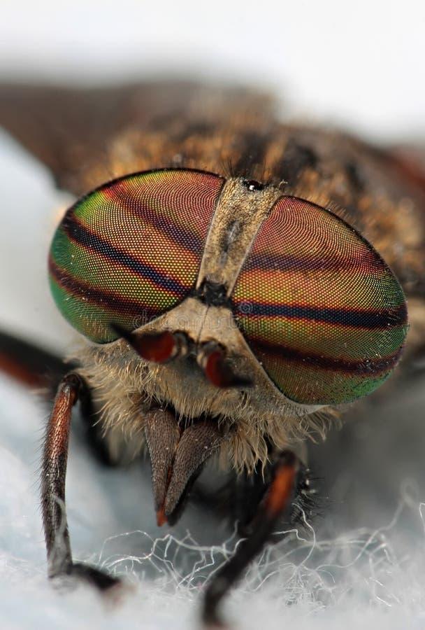 Augen eines Insekts Porträt-Viehbremse Hybomitra stockfotos