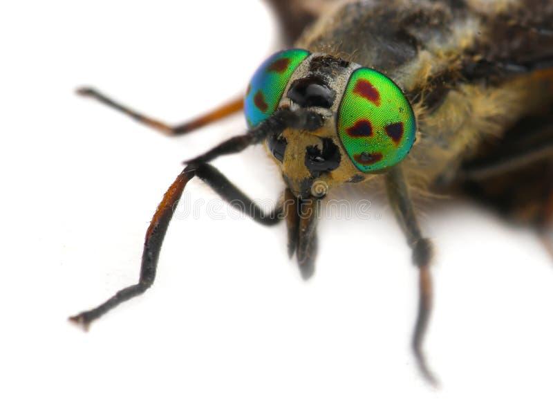 Augen eines Insekts Porträt-Viehbremse Hybomitra stockfoto