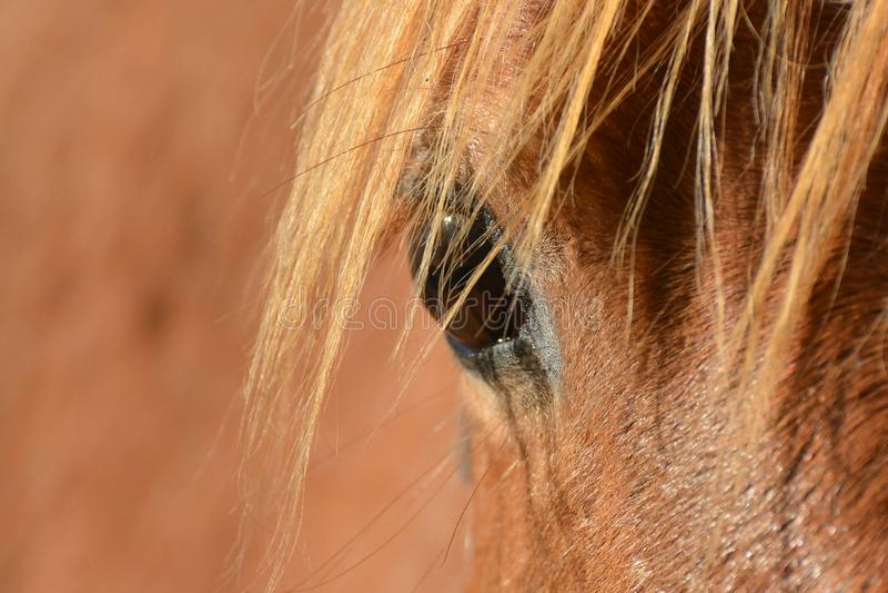 Augennahaufnahme des Kastanienpferds stockfotografie