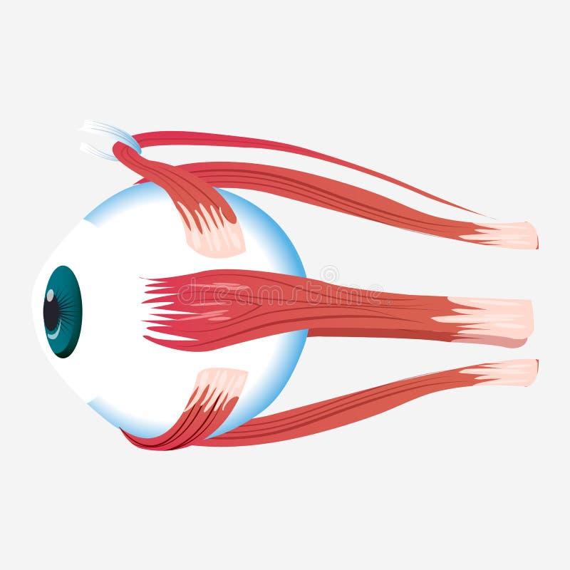 Augenquermuskelikone, Karikaturart lizenzfreie abbildung