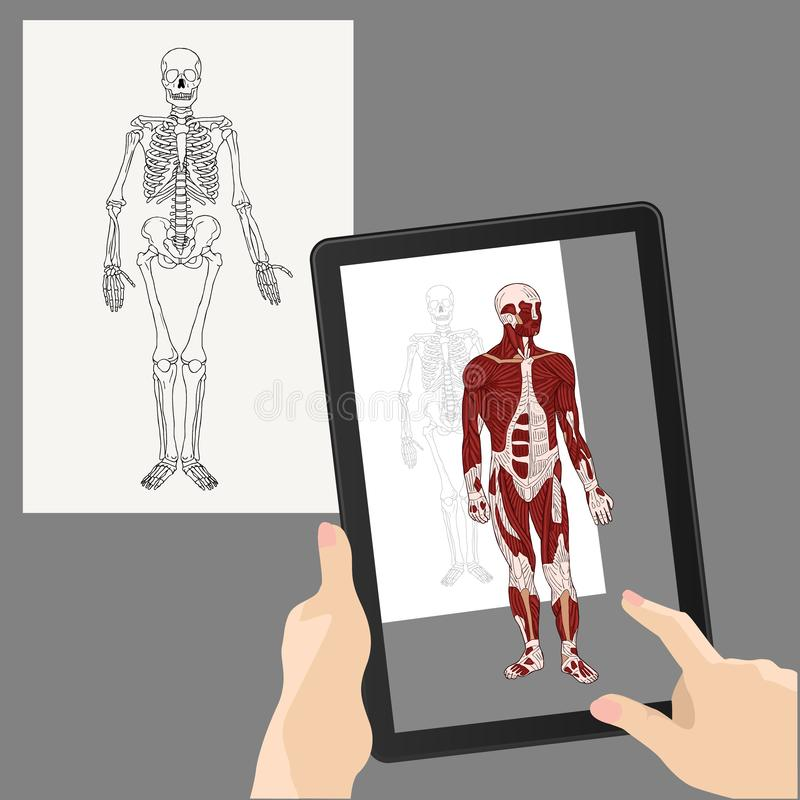 Augmented reality. Medicine. The human skeleton is augmented by muscles. Hands holding a tablet. 3D image. Vector royalty free illustration