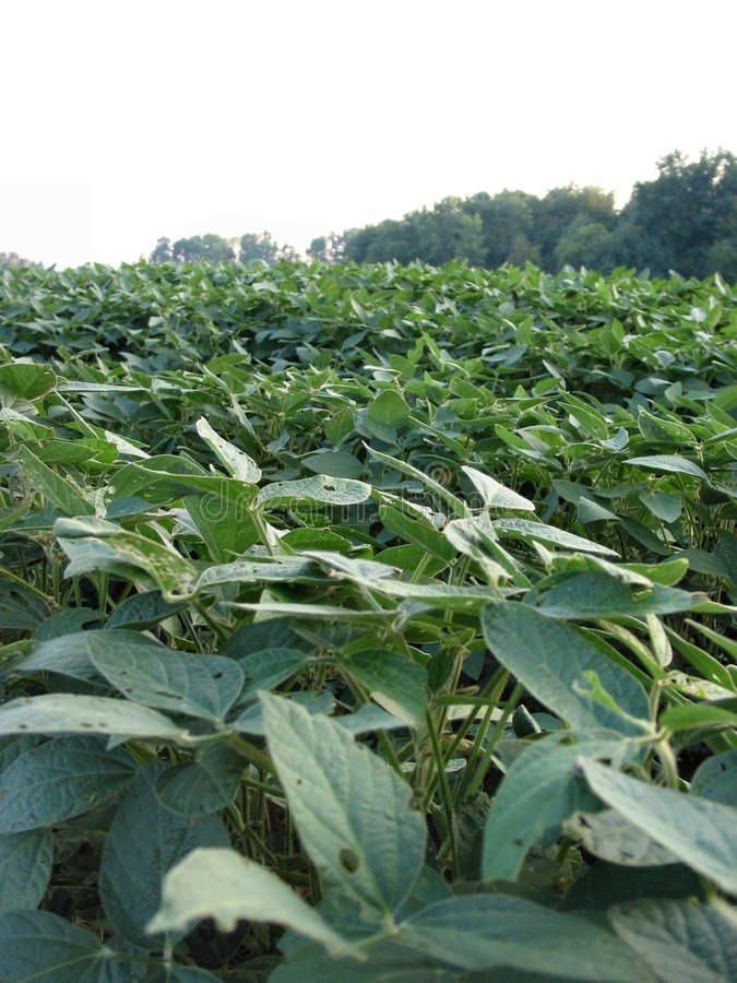 Download August Beans-059 stock image. Image of bean, field, farm - 16519