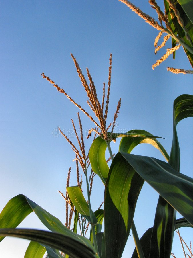 August Corn-1218 stock photography