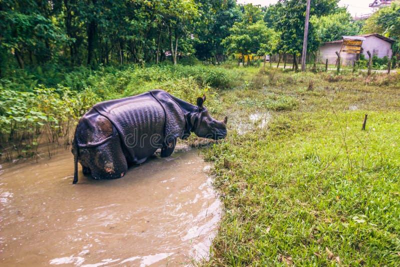 27. August 2014 - indisches Nashorn, das in Nationalpark Chitwan badet, stockfotos
