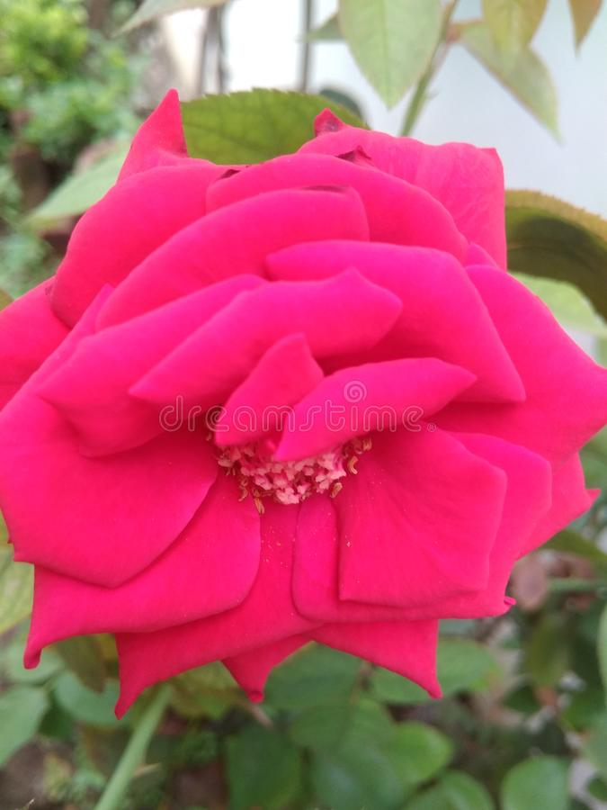 A fully bloomed Red Rose Flower on its plant. August 01, 2019, Jogiwala, Dehradun, India:  A fully bloomed Red Rose Flower on its plant in the garden stock images