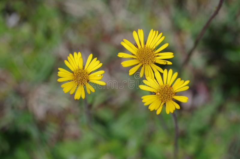 Three flowers on a mountain. In August a lot of flowers bloom in the mountains of Oaxaca. The photograph captures three of them that have been born very close stock image