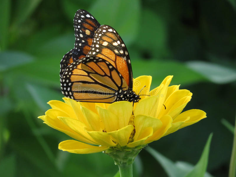 August Monarch Butterfly stock image