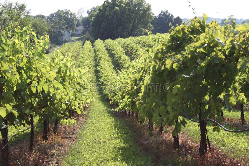 Augusta Missouri Wine Country 2019 fotos de stock royalty free