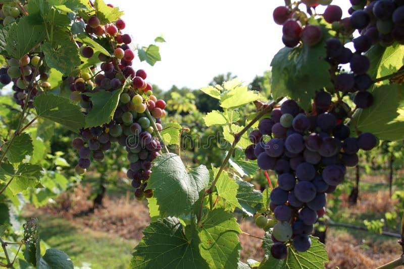 Augusta Missouri Wine Country 2019 VII fotografie stock