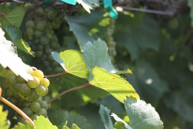 Augusta Missouri Wine Country 2019 VIII immagini stock libere da diritti
