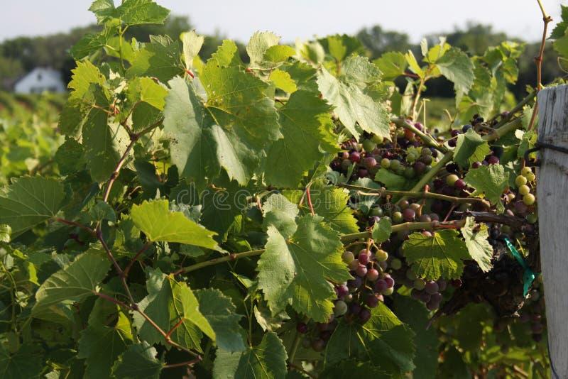 Augusta Missouri Wine Country 2019 XIV immagine stock