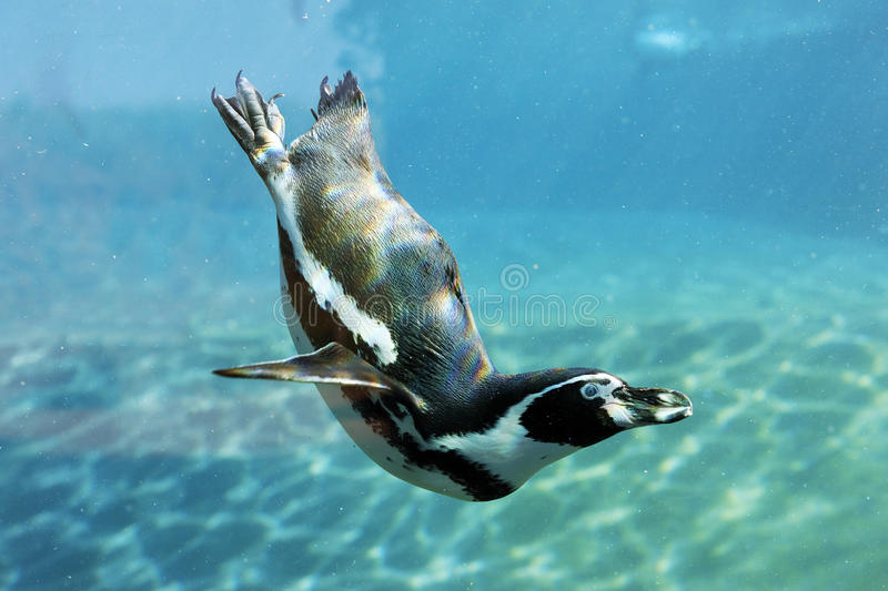 Auk swim. Ming in blue water in a park royalty free stock photography