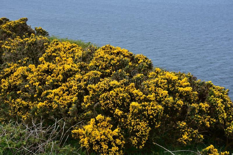 Aulaga de florecimiento Bush a lo largo de los acantilados del mar de Cumbria del oeste imágenes de archivo libres de regalías