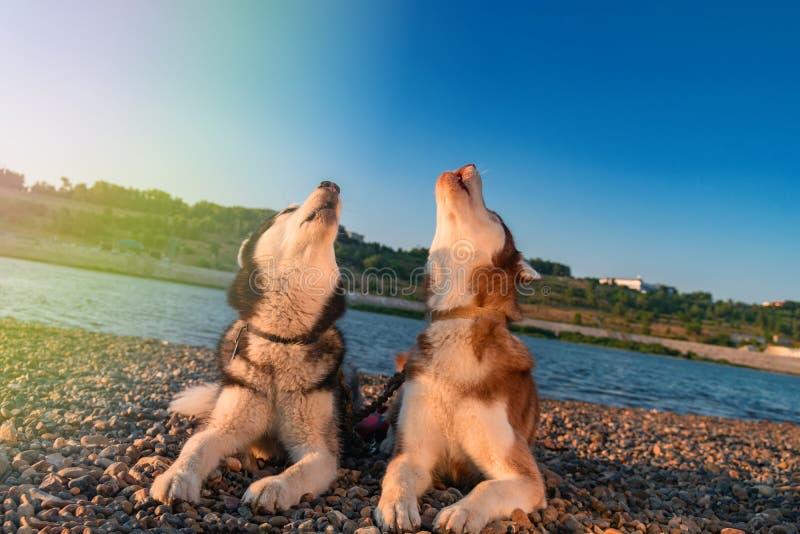 Aullido de dos perros que aumenta sus bozales para arriba foto de archivo libre de regalías