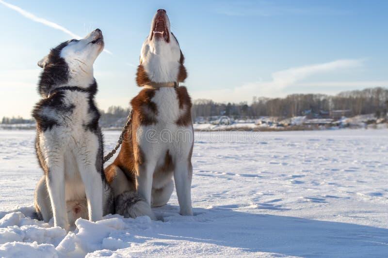 Aullido de los perros Dos perros de los huskyes siberianos gritan con sus bozales para arriba foto de archivo libre de regalías