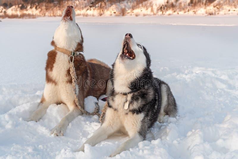 Aullido de los perros Los perros de los huskyes siberianos gritan aumentando sus bozales para arriba contra fondo del invierno imagen de archivo libre de regalías