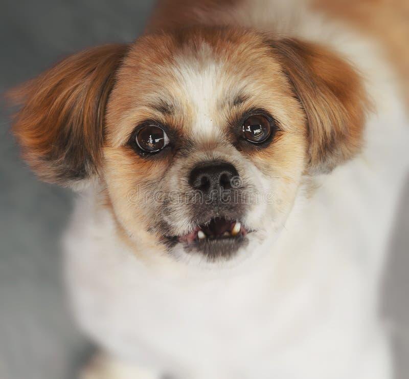 Aullido del perro descontento fotografía de archivo libre de regalías