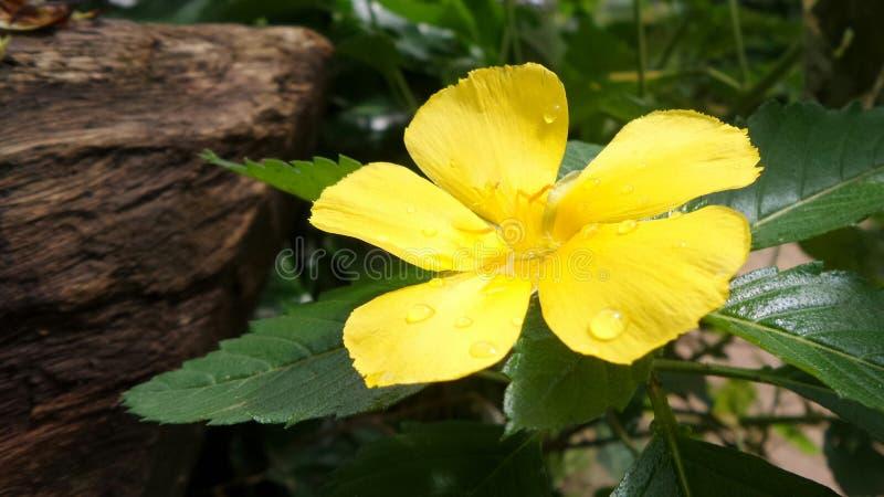 Aulne jaune sous la lumière lumineuse du soleil images libres de droits