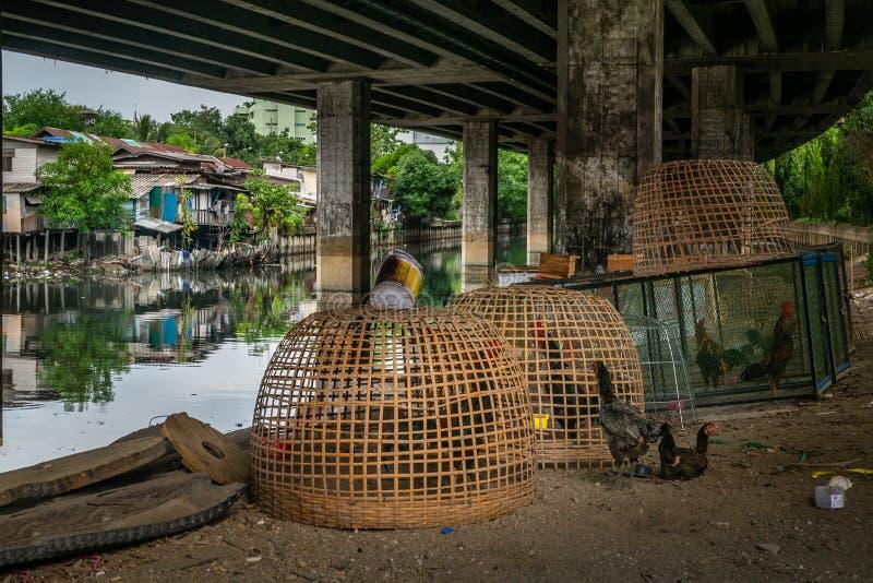Aumento del estilo natural de los pollos para los huevos y la carne a lo largo del canal debajo de la autopista de Khlong Toei en fotografía de archivo