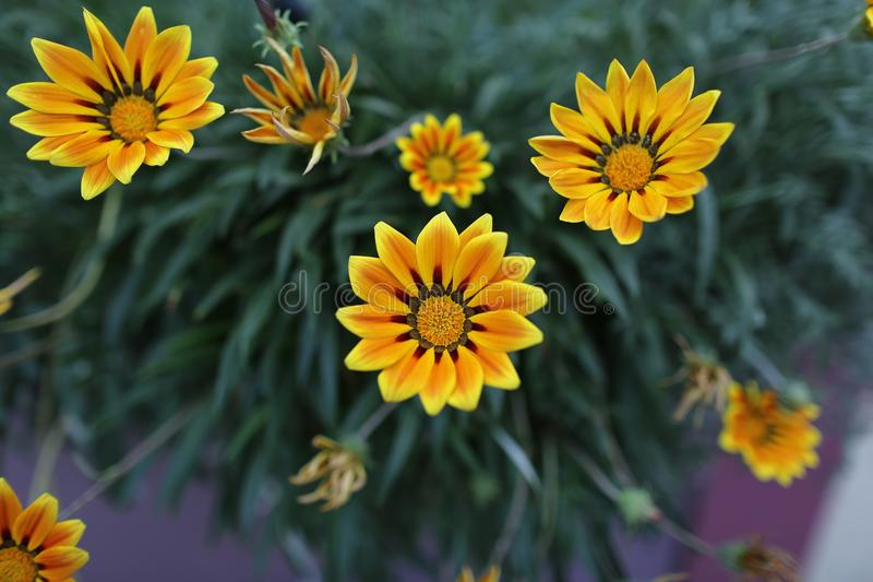 Aumento del fiore fotografia stock libera da diritti