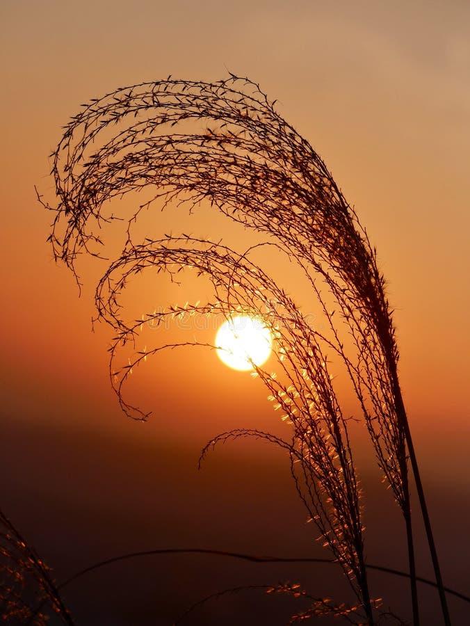 Aumento del sole di mattina attraverso l'erba scintillare immagine stock