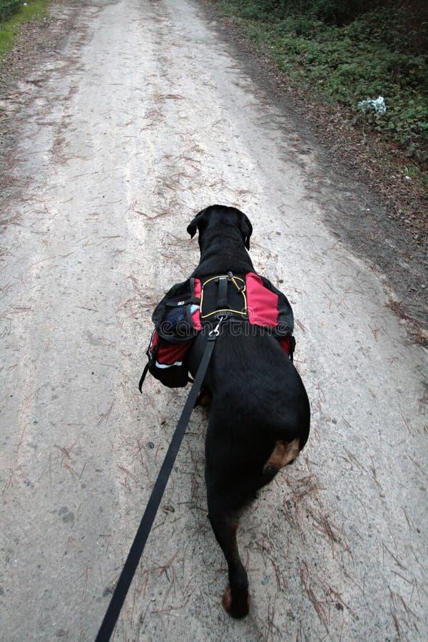 Aumento di Rottweiler immagine stock