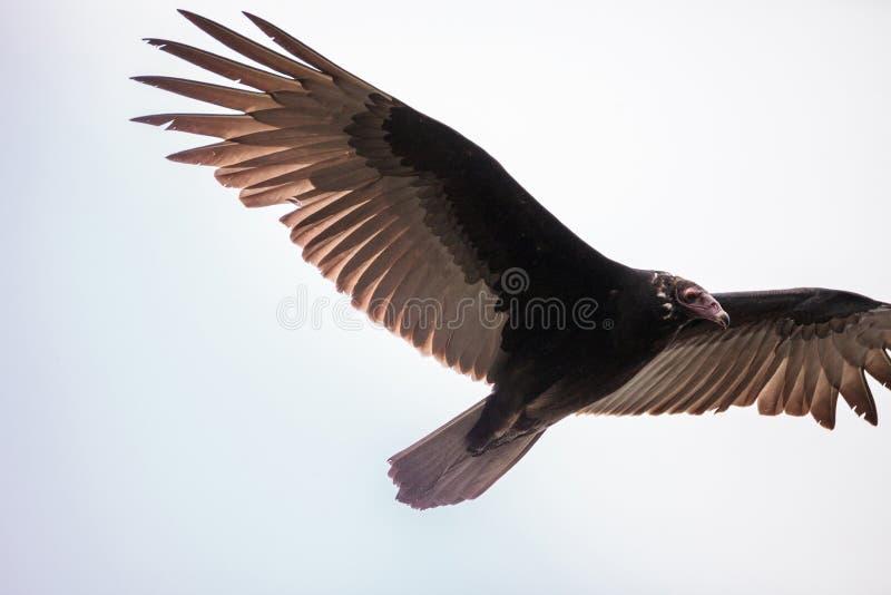 Aura do Cathartes do abutre de turquia imagens de stock