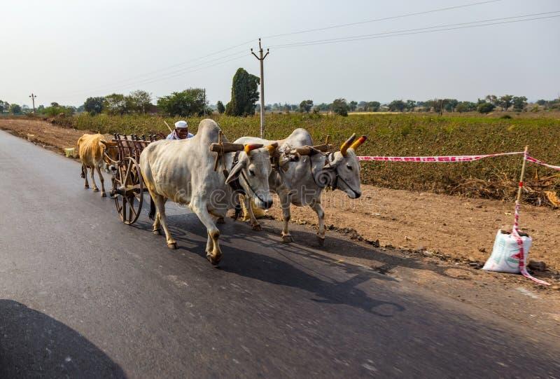 AURANGABAD, INDE - 14 JANVIER 2018 : Une commande indienne traditionnelle d'homme sur un chariot dessiné par deux taureaux blancs photographie stock