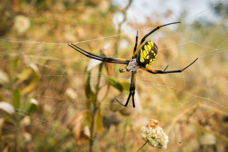 Aurantia femenino grande del Argiope de la araña de jardín, pantano de Alviso, área de la Bahía de San Francisco, California fotos de archivo