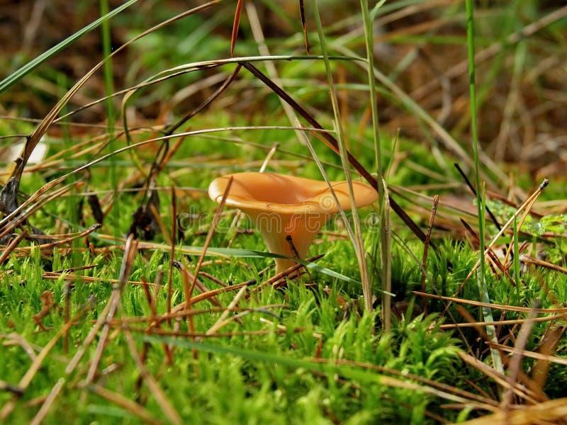 Aurantiaca di Hygrophoropsis del fungo fotografia stock libera da diritti