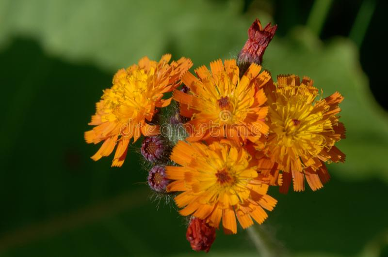 Aurantiacum de Hieracium ; hawkweed orange près de Davos images stock