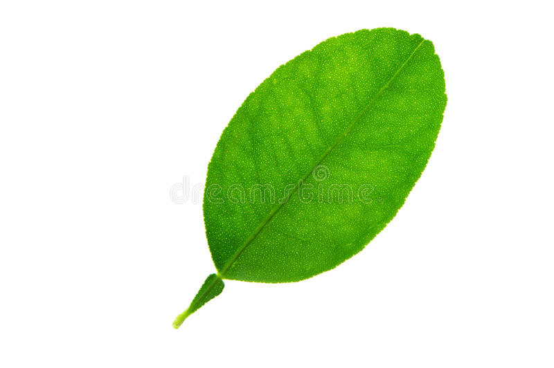 (Aurantiifolia do citrino (Christm ) Swingle), formulário de folha e textura imagem de stock royalty free