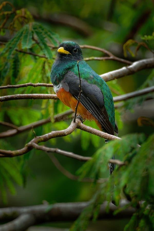 aurantiiventris Orange-gonflés de Trogon - de Trogon près d'oiseau passerine dans la famille de trogon, Trogonidae, des parties p photographie stock