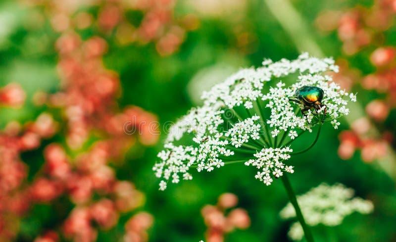 Aurata brillante del cetonia del escarabajo del verde del abejorro de la flor que se sienta en la flor blanca en verano imagen de archivo