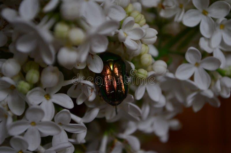 Aurata Cetonia или жук розового жук-чефера на цветках белой сирени стоковое фото