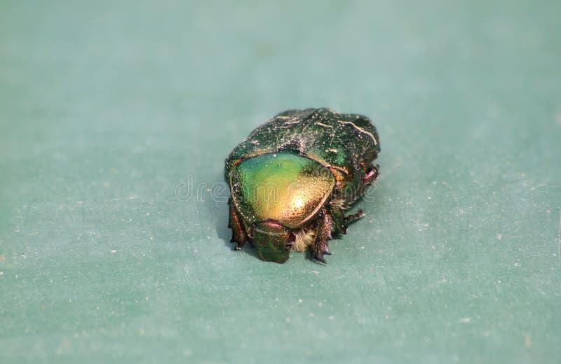 Aurata del Cetonia del abejorro de Rose en fondo verde fotografía de archivo libre de regalías