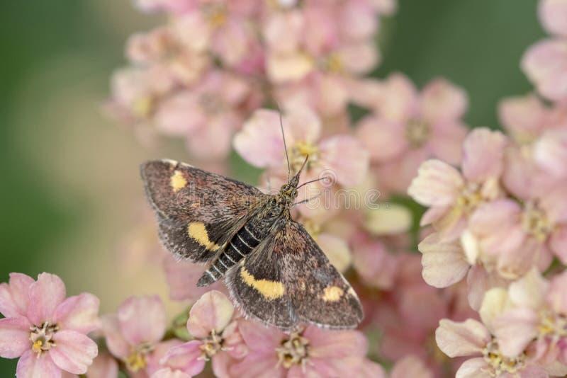 Aurata del Pyrausta de la polilla de la menta de la mariposa foto de archivo