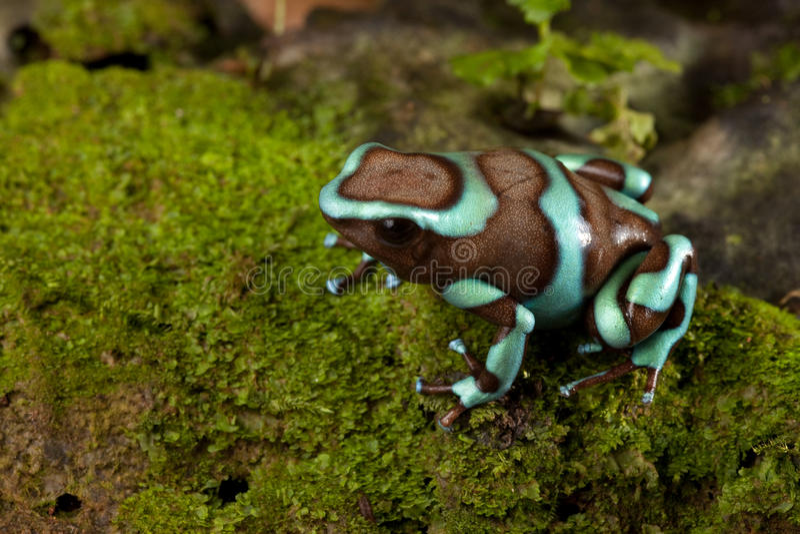 Auratus de dendrobates de grenouille de dard de poison image libre de droits