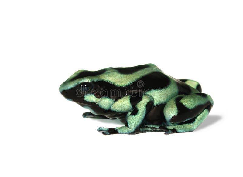 Auratus di Dendrobates (veleno verde e nero) fotografia stock libera da diritti