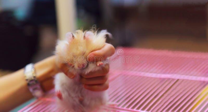 Auratus sirio blanco del Mesocricetus del hámster de oro de la naranja joven mullida linda que lucha para liberar de la mano de l fotografía de archivo libre de regalías