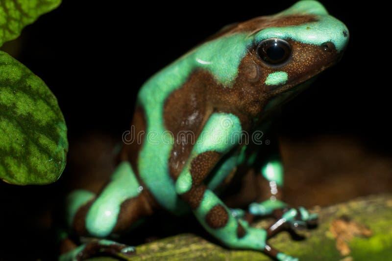 Auratus verde e nero 2 di Dendrobates della rana del dardo del veleno fotografie stock libere da diritti