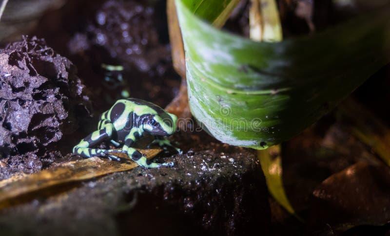 Auratus verde e nero di Dendrobates della rana del dardo del veleno fotografia stock