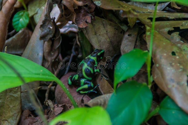 auratus Verde-e-nero di Dendrobates della rana del dardo del veleno in parco nazionale Manuel Antonio, Costa Ri fotografia stock libera da diritti