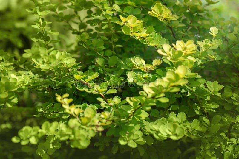 Aurea do thunbergii do Berberis, fundo do verde da natureza do aurea de thunberg da bérberis Bérberis em um dia de verão ensolara fotografia de stock royalty free